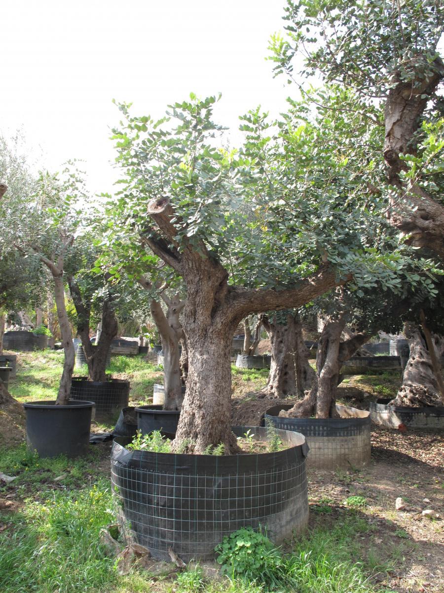 Giardini islamici e arbusti ornamentali da giardino for Arbusti ornamentali da giardino