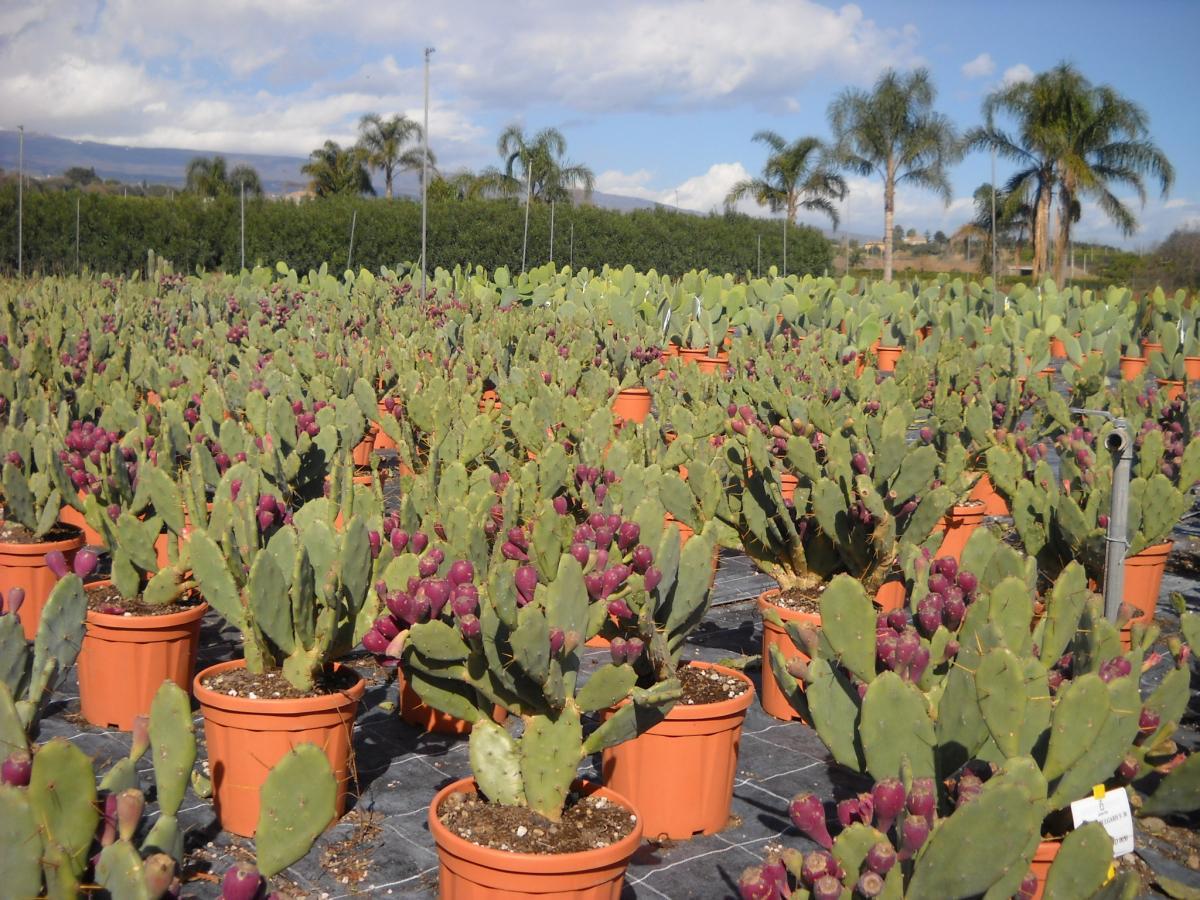 catalogo piante grasse e succulente planeta srl